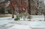 Snowed-over Palm (Arkansas Ice Storm of 2000-2001)