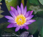 Water Lily (Texas)