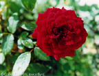 Red Rose (Texas)